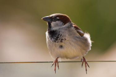 House Sparrow on wire by KarlDawson