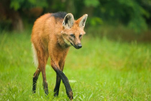 maned wolf by Quiet-bliss