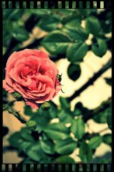 Roses by kilou