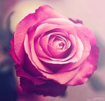 Perfect Rose by IrvingGFM