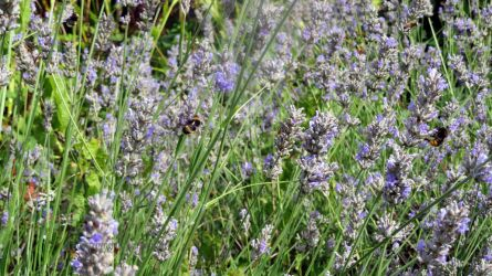 a few bees on lavender by GeaAusten