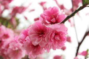 cherry blossoms by Sophie-Y