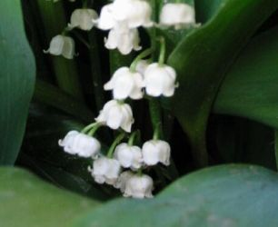 Lily of the Doorstep by euryale
