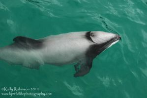 Hector's Dolphin by Shadow-and-Flame-86
