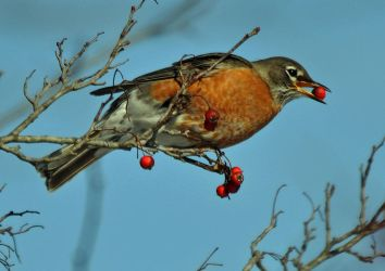 A Robin eating berries by masscreation