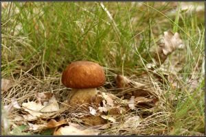 Summer Find: Boletus aestivalis by Clu-art