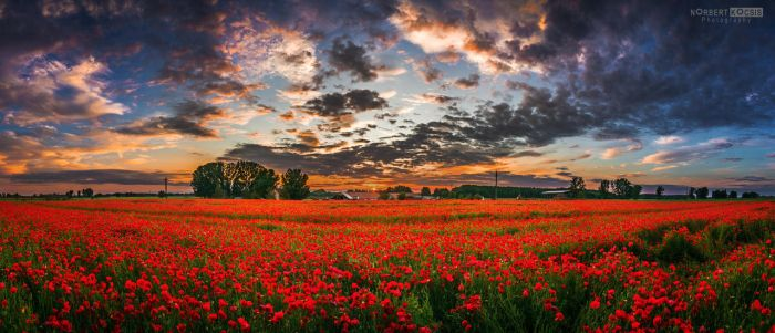 Huge poppy field by NorbertKocsis