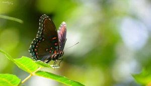 Butterfly Series (Red-Spotted Purple) by sioranth