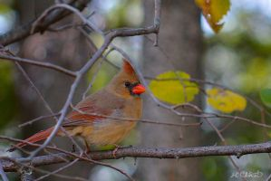 Female Cardinal by Spid4