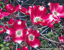 Dogwood by KellyEddington