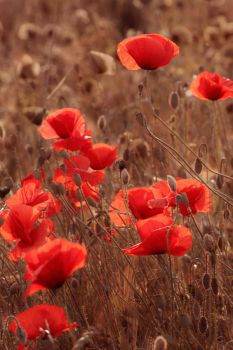 Poppies at sunset by Floriandra