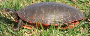 Painted Turtle Stock 2 of 11 by Lovely-DreamCatcher