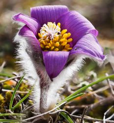 Anemone pulsatilla var. costeana by rajaced