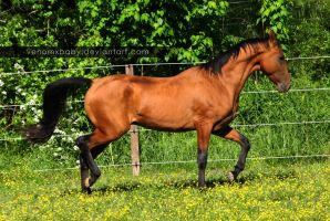 bay akhal-teke stallion 10 by venomxbaby