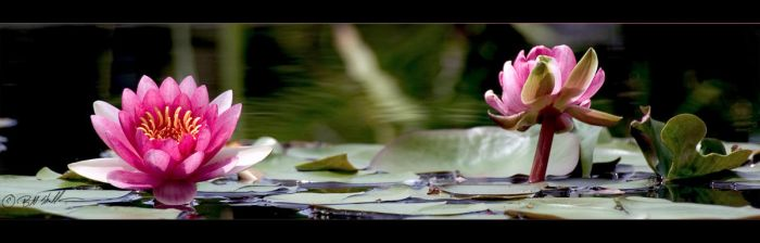 Water Lilies by bmshaffer
