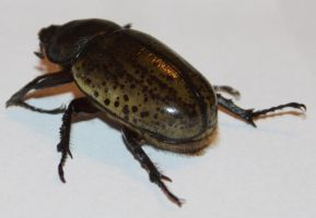 Female Hercules Beetle? Stock by Lovely-DreamCatcher