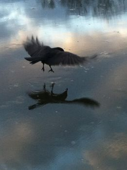Crow in flight on ice by Megsnails