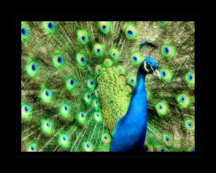 Peacock V by angelicque