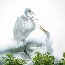 .:Egret Couple:. by RHCheng