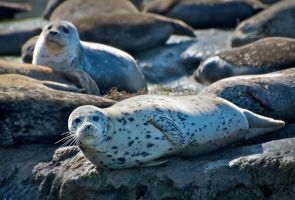 Harbor Seals by DeniseSoden