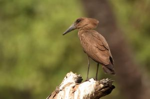 Who are you calling weird? - Hamerkop by Jamie-MacArthur