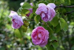 Shakespeare-Roses by OfTheDunes
