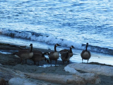 Geese Hanging at the Beach by Misty2007