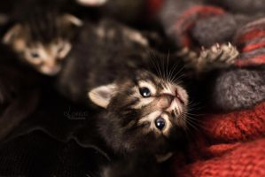 Kitten by Lorelei-Photographie