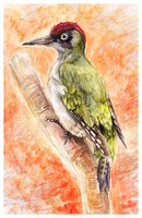 Green woodpecker by griffsnuff
