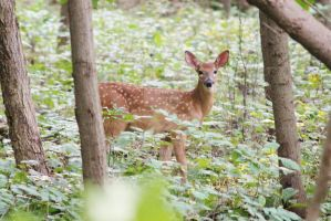 White-tailed Deer Fawn by CharmStop