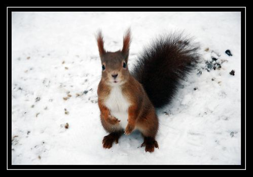 Squirrel by Oma-Thule