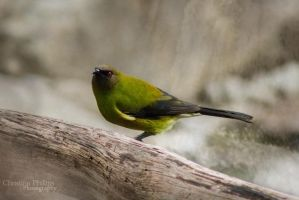 Bellbird-4557 by Christina-Phillips