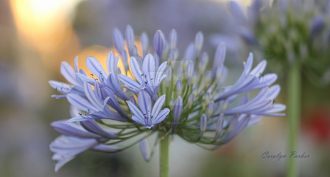 AGAPANTHUS AFRICANUS - Lily of the Nile  2 by Cairngorm747