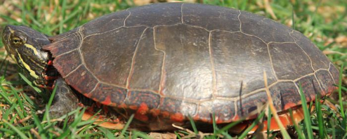 Painted Turtle Stock 11 of 11 by Lovely-DreamCatcher