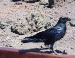 Northern Raven by Caillean-Photography