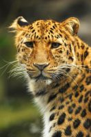 Amur Eyes by Shadow-and-Flame-86