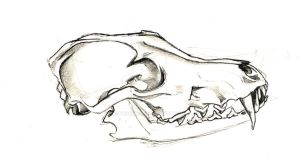 Fox Skull Sketch by Bunnyko