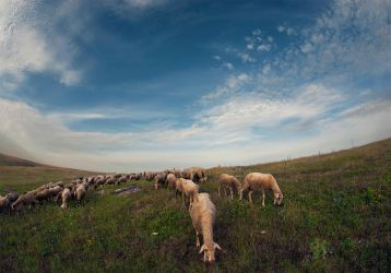 Sheeps by ivo-mg