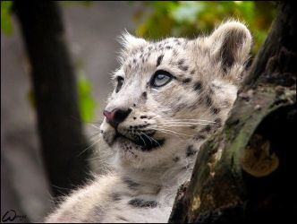Dreaming baby snow leopard by woxys