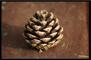 Pinecone by Xeno834