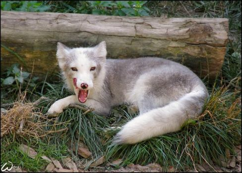 Arctic fox is tasting herself by woxys
