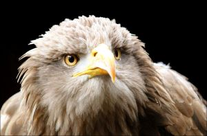 White-tailed eagle. by Evey-Eyes