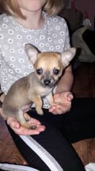Oscar Pickle at 7 weeks old. by Darth-Emily