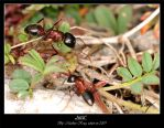 Ants by Frostschock
