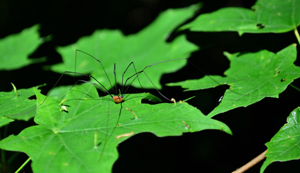 The Harvestman by bmxer197