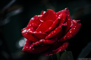 Red Rose 02 by Zavorka