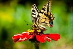 Old World Swallowtail by vertiser