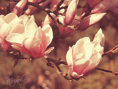 magnolia by esiak