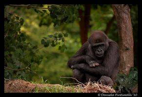 Pondering Gorilla by TVD-Photography