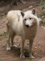 White Wolf 007 by animalphotos